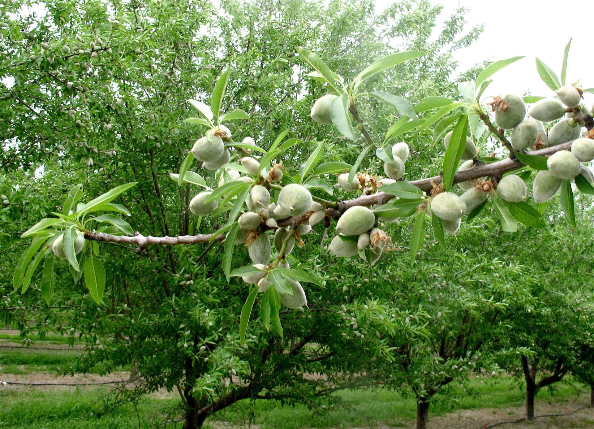 Almond Disease and Control