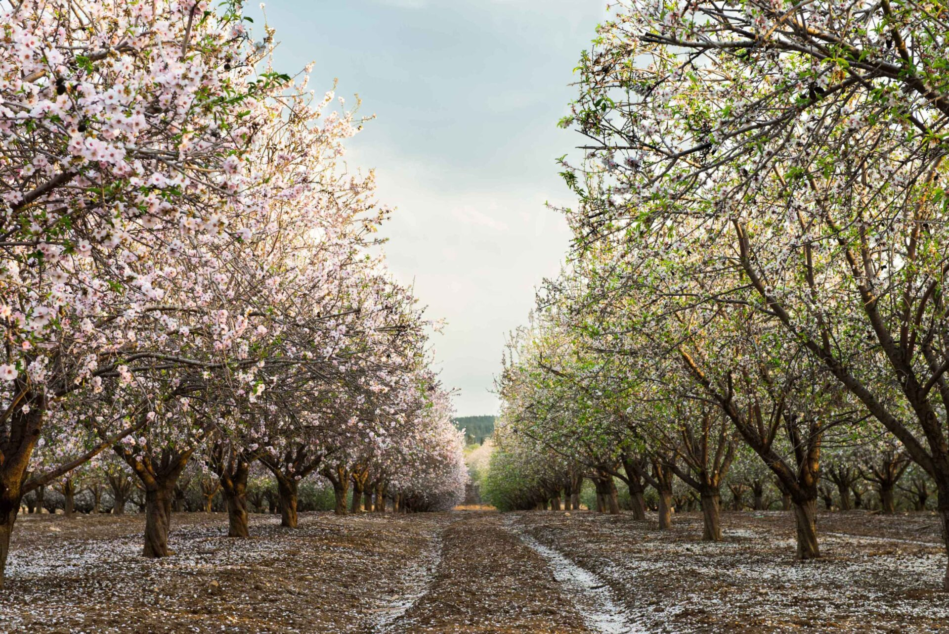 Best Management Practices for Fungal Disease in Almonds