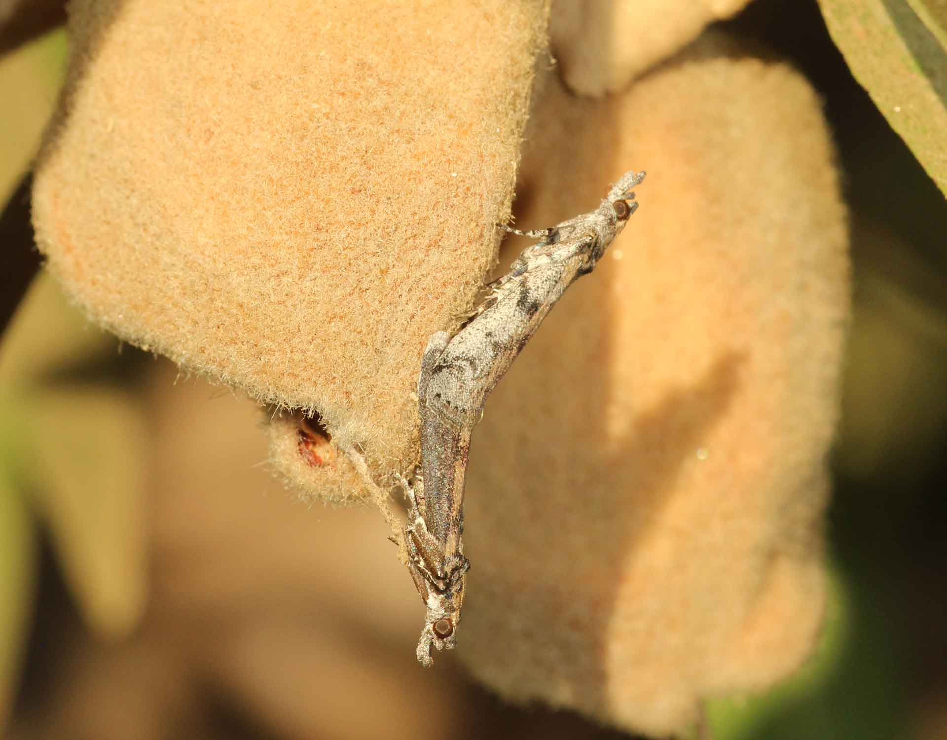 Navel Orangeworm NOW