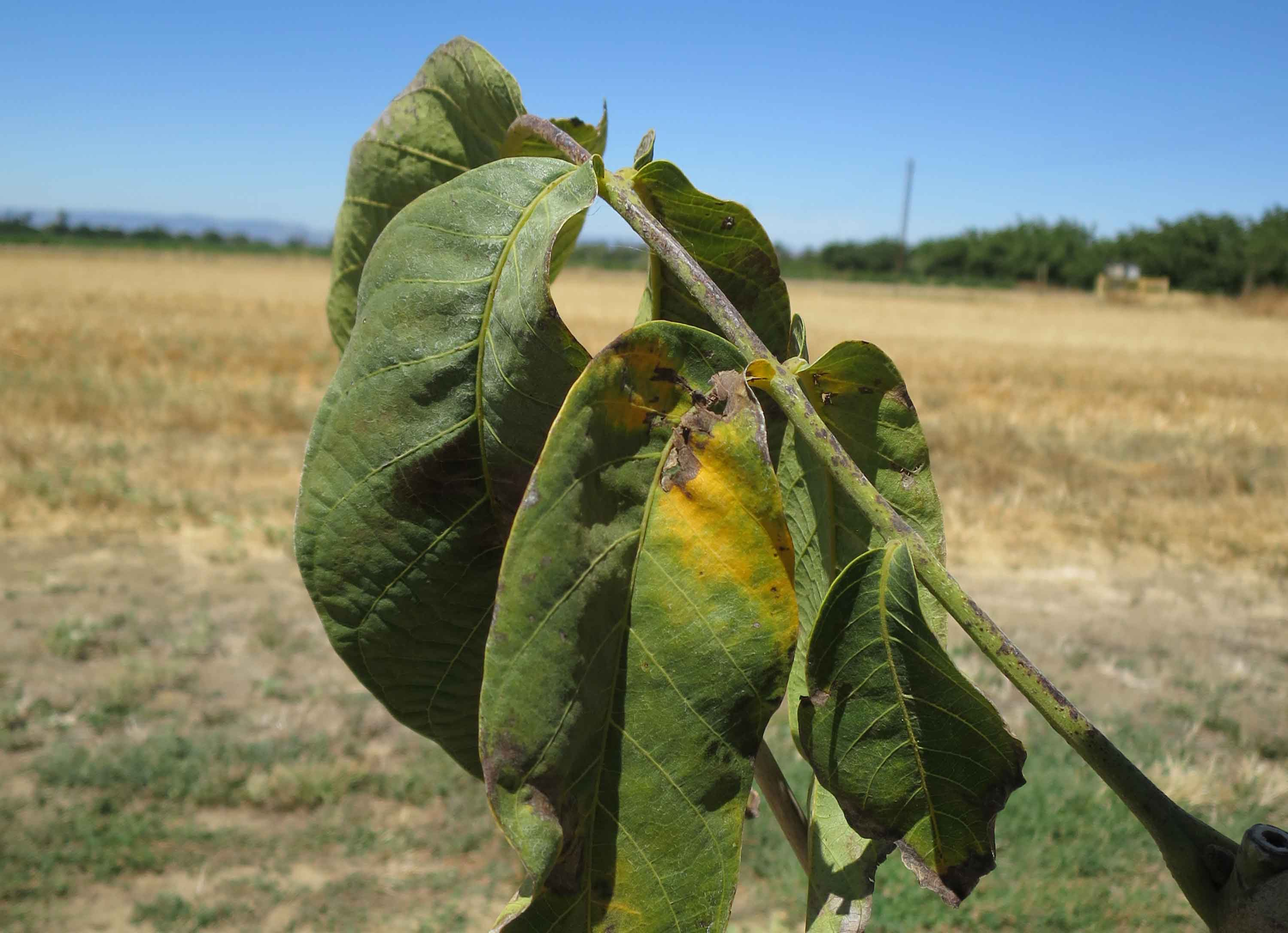 Walnuts: When to Begin the Irrigation Season