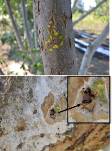 Figure 3. Signs and symptoms of thousand cankers disease. (A) Peeling the bark from a Paradox branch reveals canker development around beetles' galleries. (B) Beetle boring into the phloem of an English walnut tree.