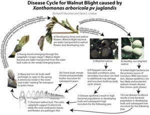 Blight Control in Walnuts