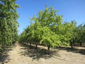 Distribution of Chlorosis in Almond Orchards