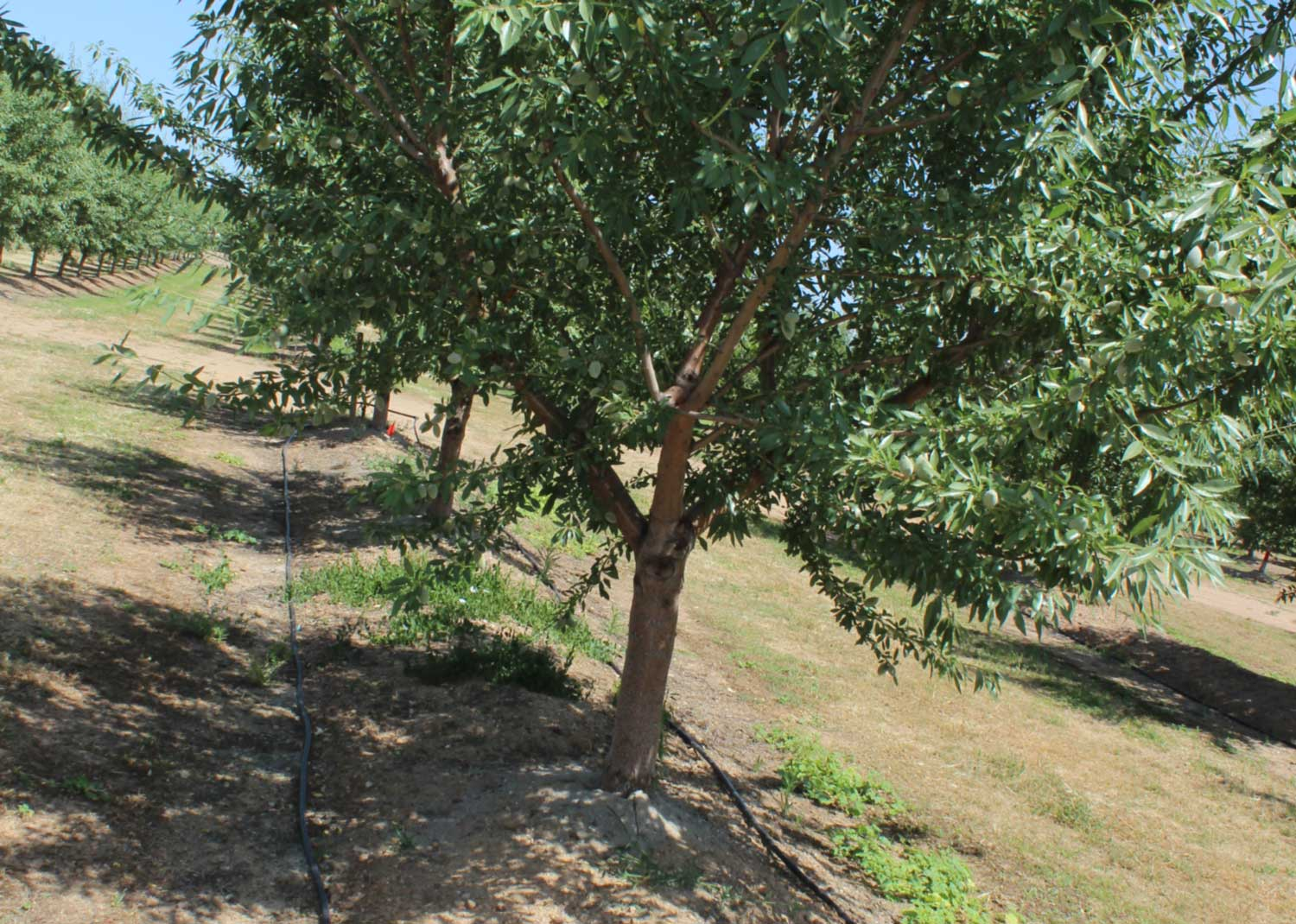 Managing and Controlling Canker Diseases in Almonds and