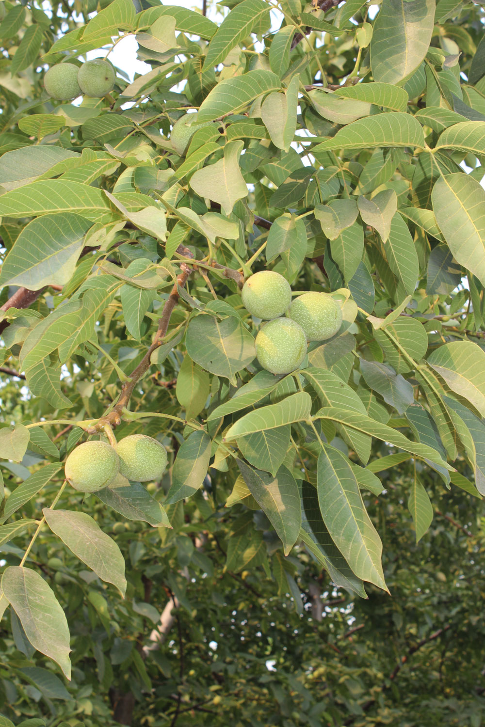 Walnut Tree branch