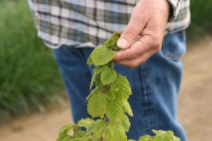 Jeff Newton inspects new growth on a young hazelnut tree.