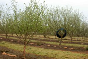 During the rainy season, Christensen Farms rolls up drip tubes and hangs them in the trees.
