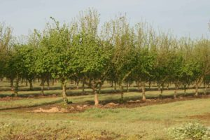 Drip irrigation in a maturing orchard.