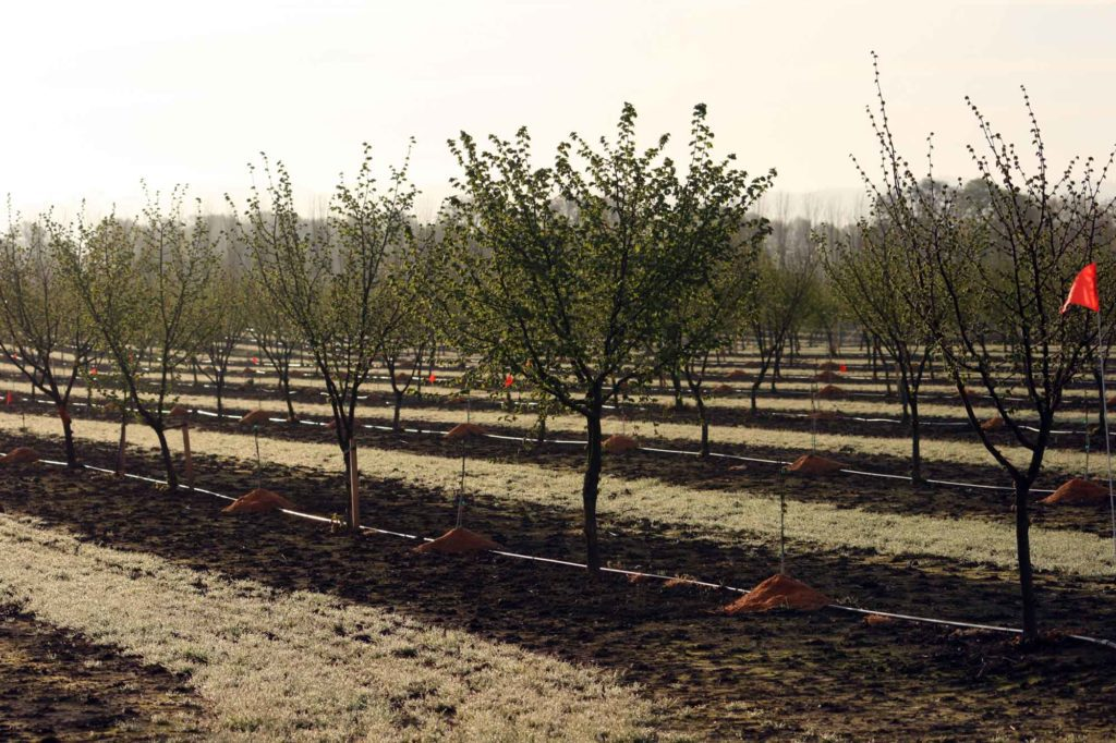Drip irrigation in a young orchard.