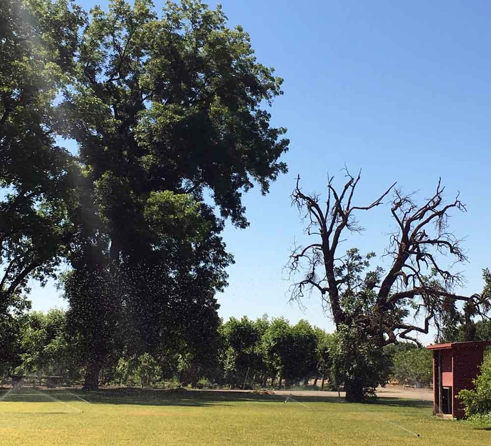 A dying Northern California black walnut