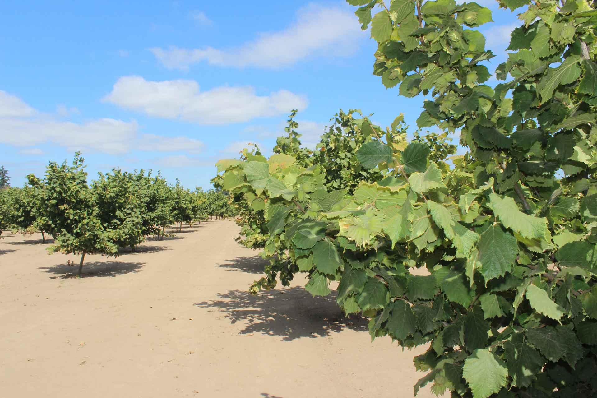 Hazelnut Orchard.