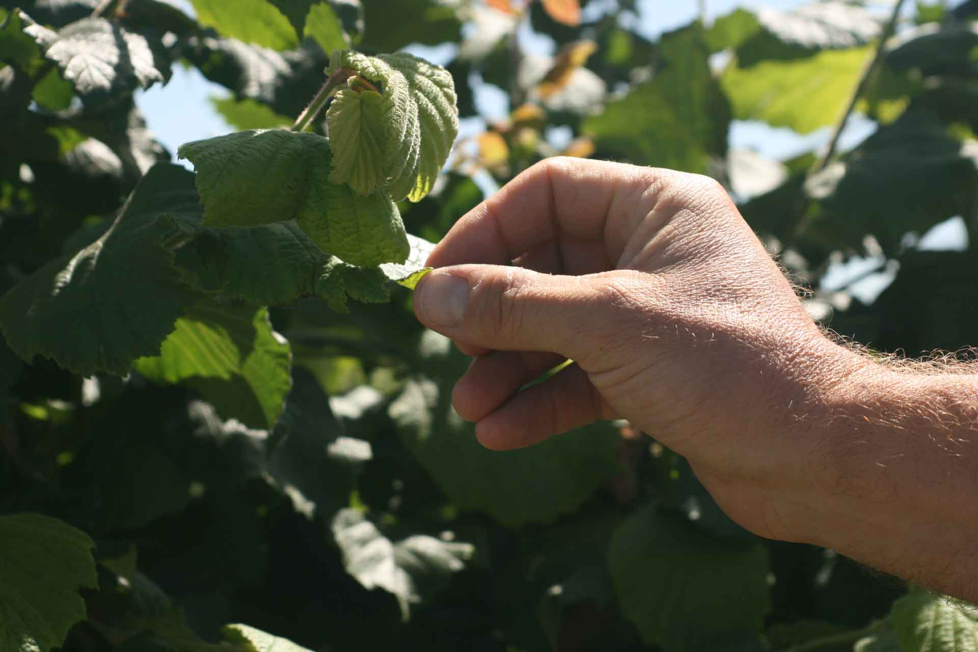 Telly Wirth inspects new growth on one of his hazelnut trees.
