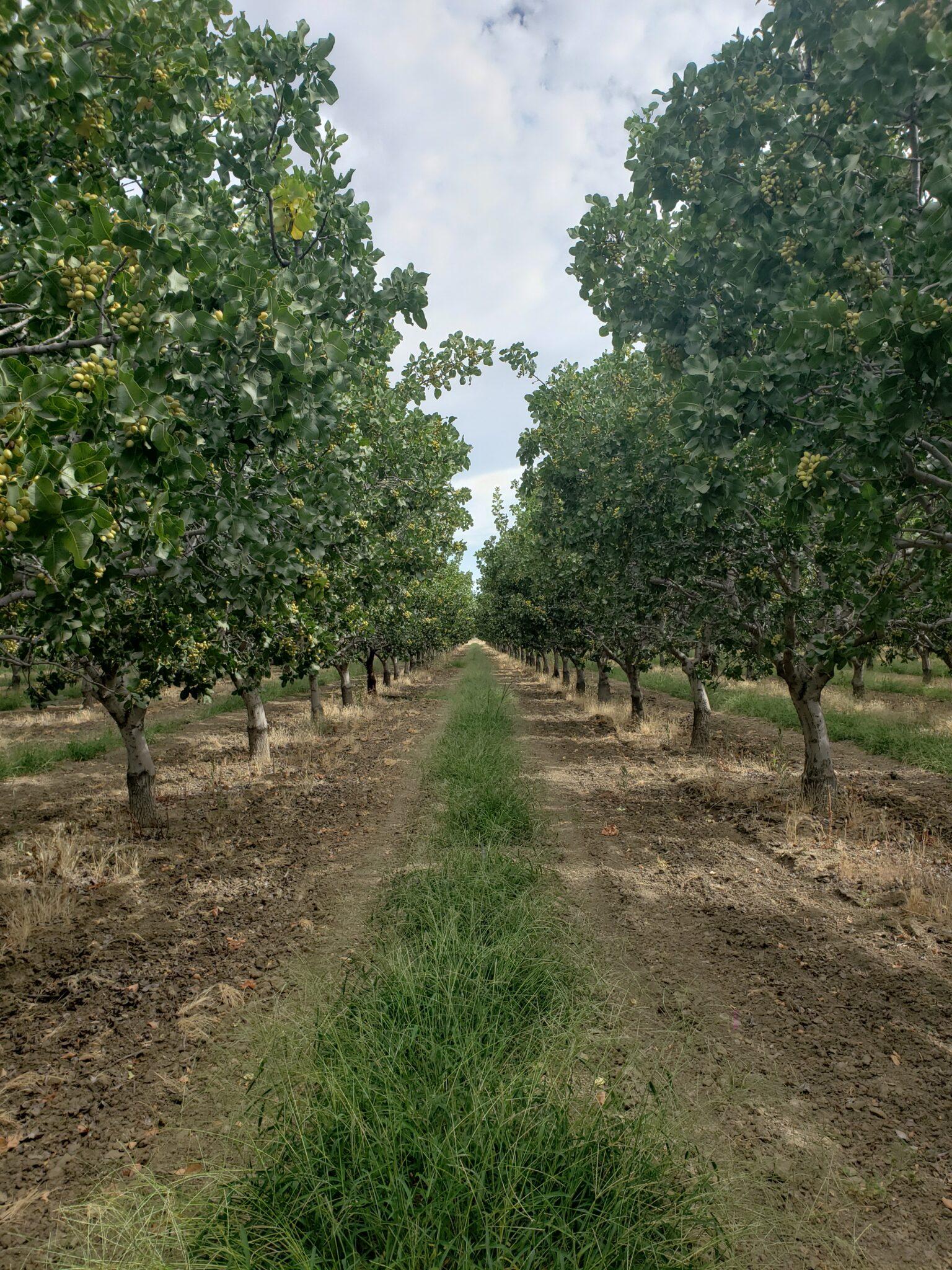 Organic Pistachio Production At Nichols Farms West Coast Nut